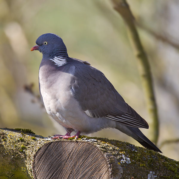 600px-Common_Wood_Pigeon.jpg