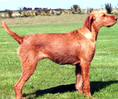Hungarian_Wirehaired_Vizsla3.jpg