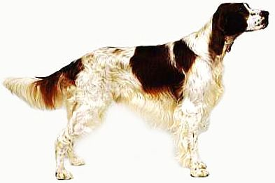 Irish_Red_White_Setter_1.JPG