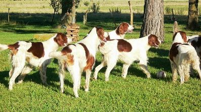 Irish_Red_White_Setter_5.jpg
