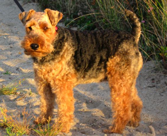 welsh_terrier_2