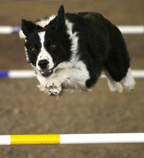 Border_Collie_Agility