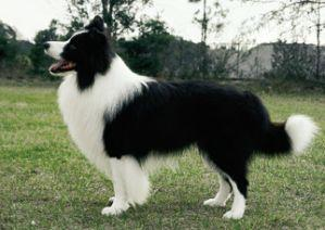 border-collie-strandar-194