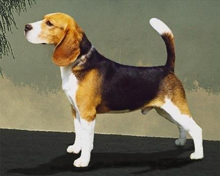 beagle_william.jpg