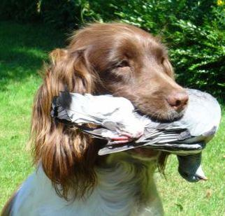 english_springer_spaniel_hunting.jpg