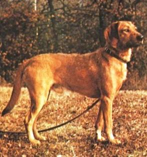 wirehaired_styrian_mountain_hound.jpg