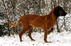 bavarian_mountain_hound1_small.jpg