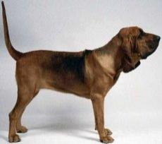 chien_de_saint-hubert_bloodhound_small.jpg