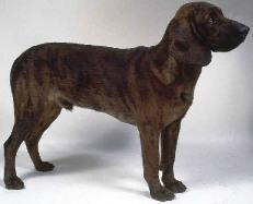 hanoverian_hound_small.jpg