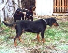 montenegrin_mountain_hound_small.jpg