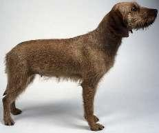 styrian_rough_haired_mountain_hound1_small.jpg